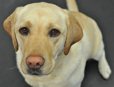 labrador retriever puppies information labrador retriever facts 28 free wallpaper dogbreedswallpapers