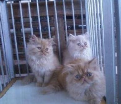 Sho Kucing Bandung penjual kucing bandung jual kucing bandung