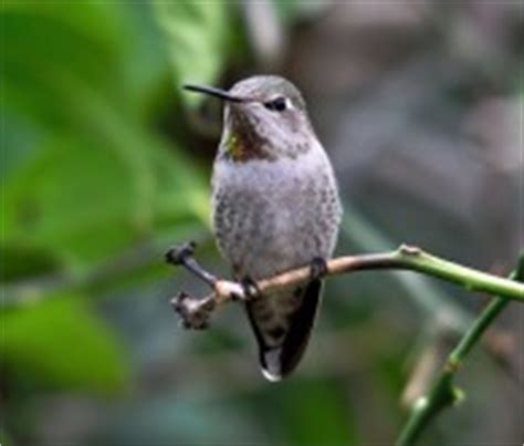 mating habits of hummingbirds bibliography hummingbirds