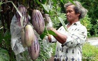 Dm Cp Kmj Lopelope Putih 1 bpp rejotangan pepino buah ajaib kaya khasiat