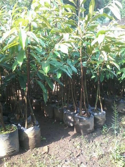 Bibit Durian Bawor Sleman pusat bibit tanaman buah home