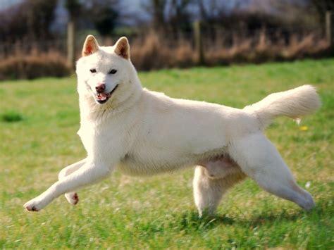 korean jindo puppies korean jindo info temperament care puppies pictures