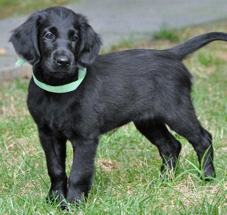 golden flat coated retriever puppies haired black labrador retriever breeds picture