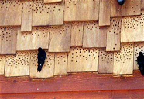 woodpecker on house siding are woodpeckers damaging your house or deck
