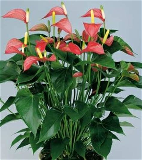 most common flowering house plants common house plants images