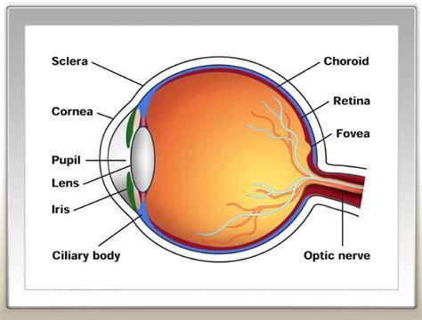 diagram of eyeball printable human eye diagrams diagram site