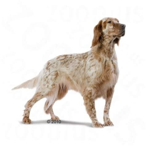 english setter dog food royal canin breed adult at zooplus royal canin setter adult