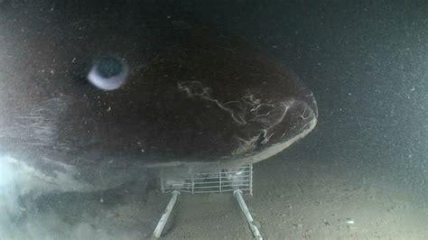 Sleeper Sharks by Sharks Dogfish And Sleeper Shark Aol