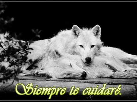 Imagenes Con Frases De Amor Con Lobos   hermosos lobos blancos con frases rom 225 nticas