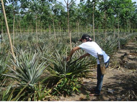 Benih Bibit Buncis Perkasa 500gr Panah Merah cara menanam lada tanamanbaru