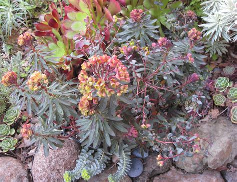 euphorbia plants that brighten up the late winter garden mediterranean landscape san