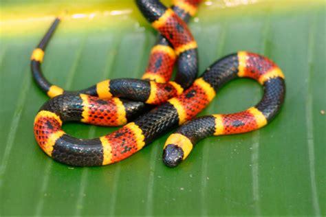 serpiente de coral caracteristicas   donde vive