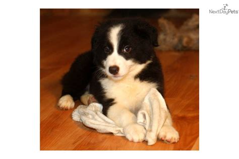 miniature border collie puppies miniature border collies www imgkid the image kid has it