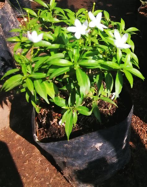 jual tanaman hias sabrina hijau cantik  lapak efendi