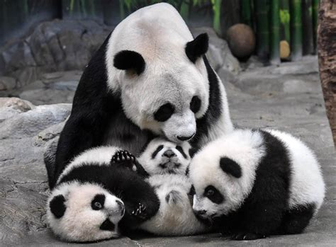 Panda With by Excitement Rising Panda Numbers Tempered By Virus
