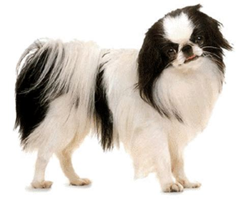 best shoo for a shih tzu shih tzu animated images gifs pictures animations 100 free