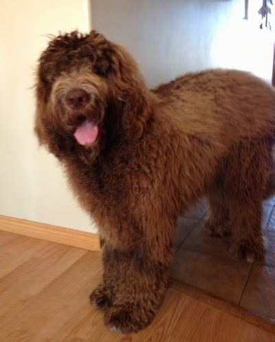 newfoundland poodle puppies newfypoo breed information and pictures