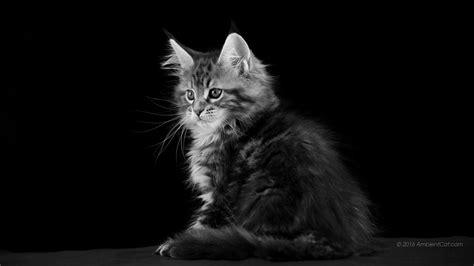 imagenes blanco y negro de gatos 1366 x 768 en blanco y negro papel tapiz para el