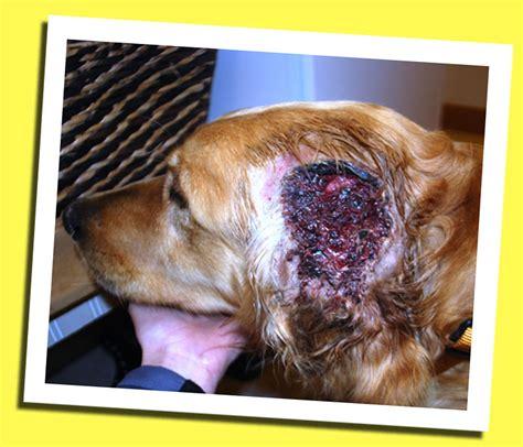 neutering recovery s recovery colorado animal welfare league