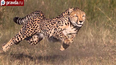 is a jaguar faster than a cheetah cheetahs can be faster than