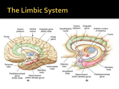 limbic system diagram human brain diagram limbic system image collections how