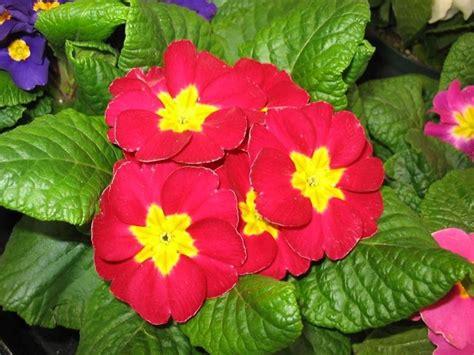 la primula fiori la primula fiori da giardino fiori giardino