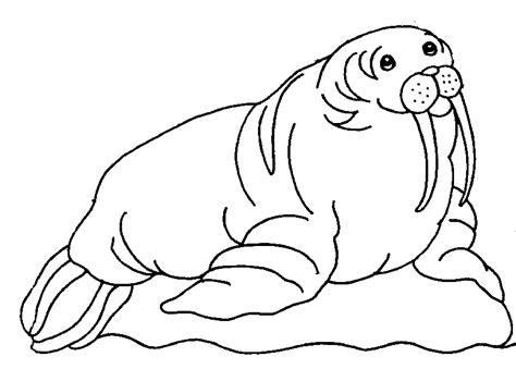 Walrus Coloring Page 12 Free Animal Walrus Coloring Sheet For Kids