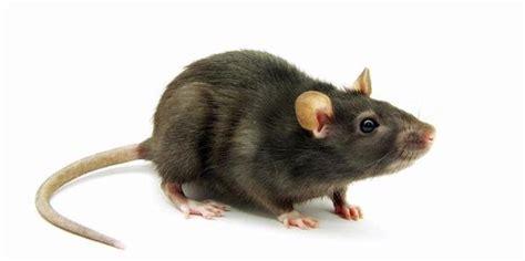cara membuat jebakan tikus di dalam rumah agar tikus tak betah di rumah rumahku