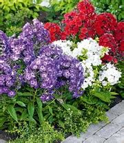 Blumen Im Garten 3261 by Winterharte Passionsblume Ladybirds Baldur Garten