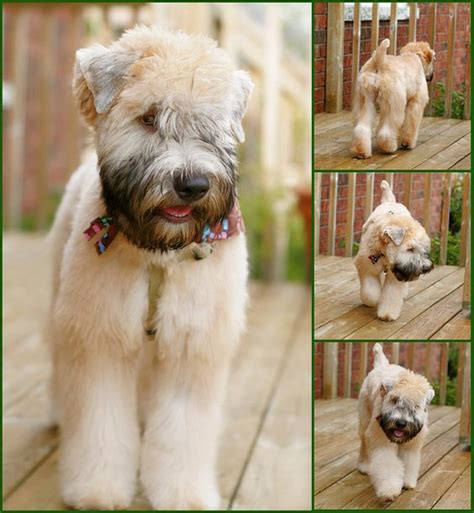 wheaten terrier haircut perfect wheaton hair cut i want to start growing out
