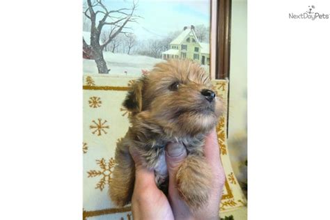 yorkie poo puppies for sale in chattanooga tn yorkiepoo yorkie poo puppy for sale near chattanooga tennessee e9abe34b b1f1