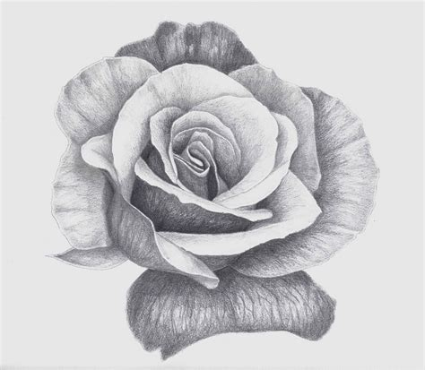 pencil drawings charcoal drawings and art galleries rose rose flickr photo sharing