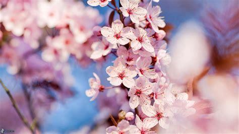 imagenes flores de cerezo flores de cerezo