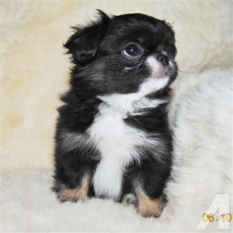 shih tzu chin mix quot wallace is adorable quot japanese chin shih tzu mix for sale in osakis minnesota