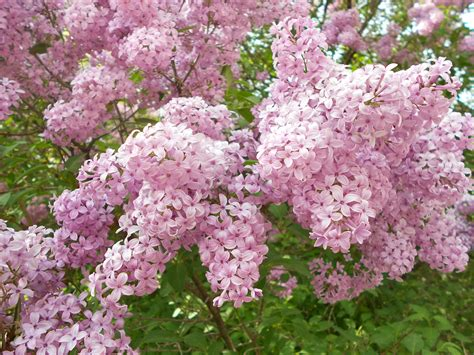 lilacs bush lilac bush trees bushes in spring pinterest