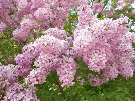 lilacs bush lilac bush trees bushes in