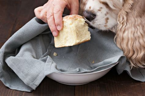 dogs eat bread can dogs eat bread american kennel club