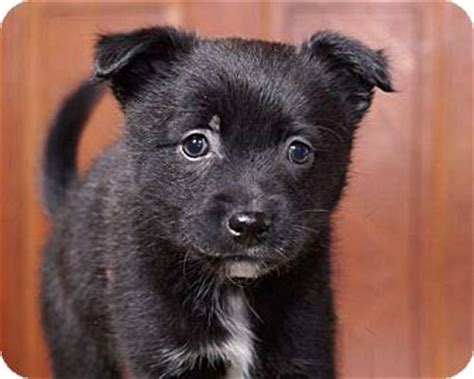 border collie pomeranian mix puppies sudbury ma border collie pomeranian mix meet a puppy for adoption