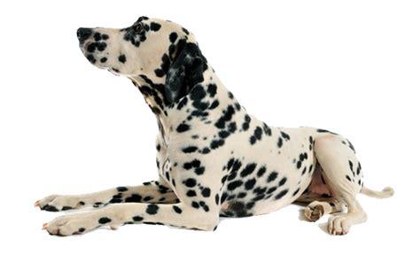 puppy laying sarasota laying k9 korral srq