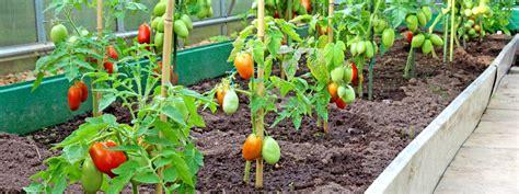 come piantare i pomodori in vaso orto in casa coltivazione dei pomodori giardini giardini