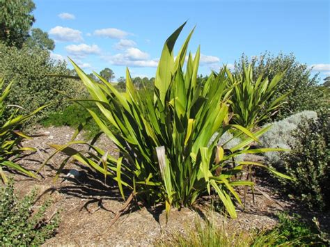 doryanthes excelsa gymea lilly plant photos information
