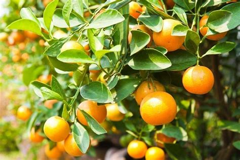 mandarino in vaso mandarino frutteto coltivare mandarino