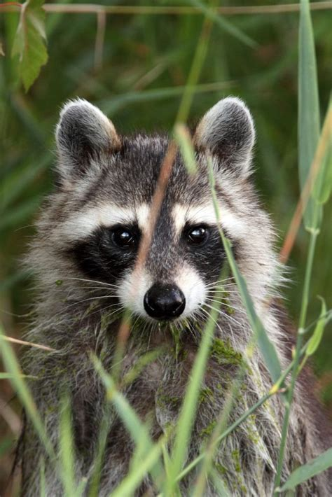 what to do if a raccoon is in your backyard 25 best ideas about raccoons on pinterest racoon baby