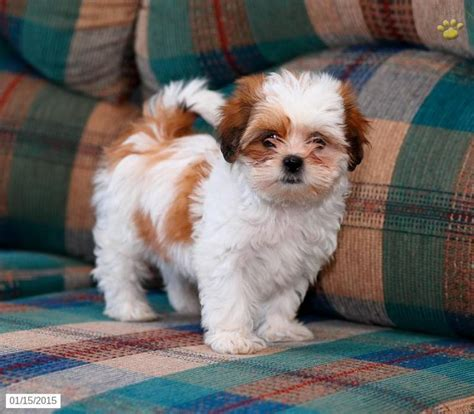 shih tzu breeders in pa 92 best images about adorable puppies for sale on morkie puppies for