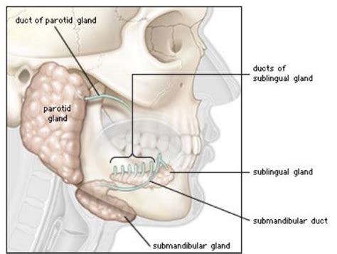 diagram of salivary glands diagram salivary glands www pixshark images
