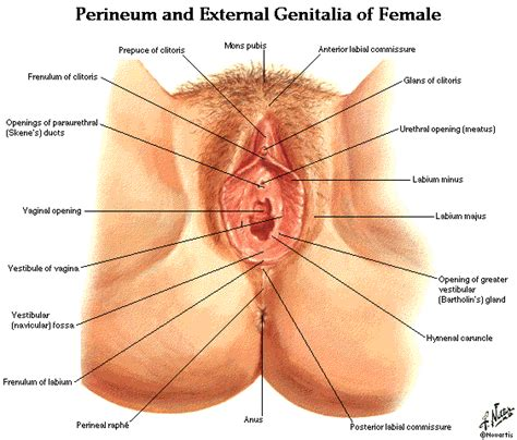 diagram of perineum anatomy image organs 10 best doctoral pictures