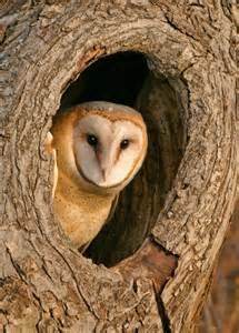 Barn Own Hearing Skills Of Barn Owls Could Map Way To Find Problems