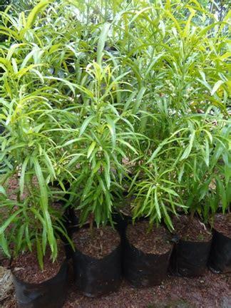Bibit Zodia zodia anti nyamuk jual tanaman hias jual desain