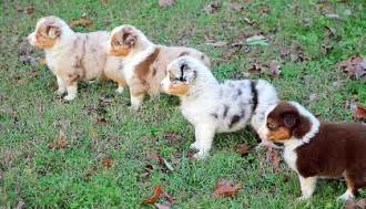 aussie color australian shepherd colors and markings