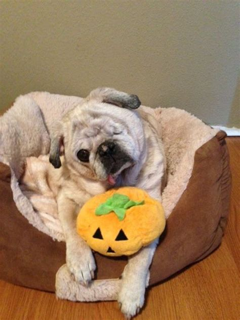 diabetes in pugs pin by on pug friendzy